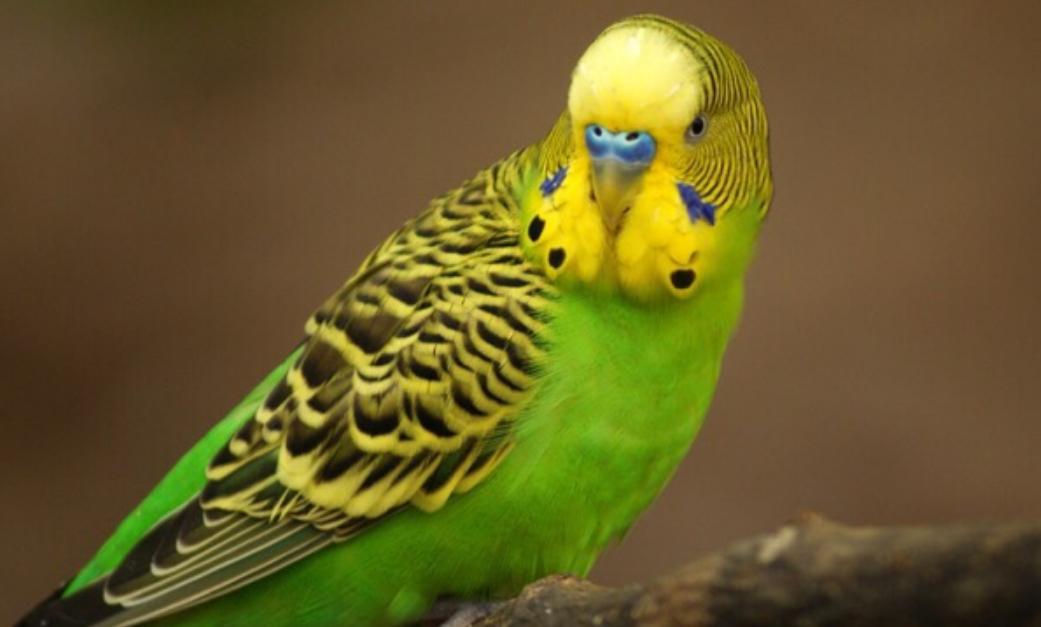 Красивые фото волнистых попугаев