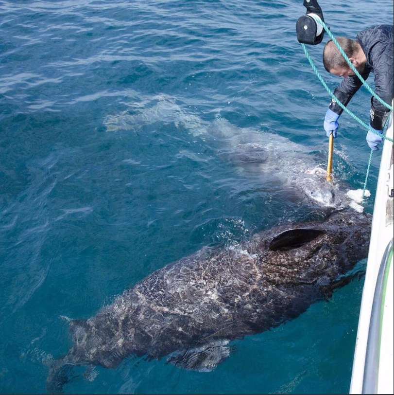 a study on the greenland shark Greenland shark: greenland shark, member of the sleeper shark family somniosidae (order squaliformes) that is also the longest-living vertebrate known.