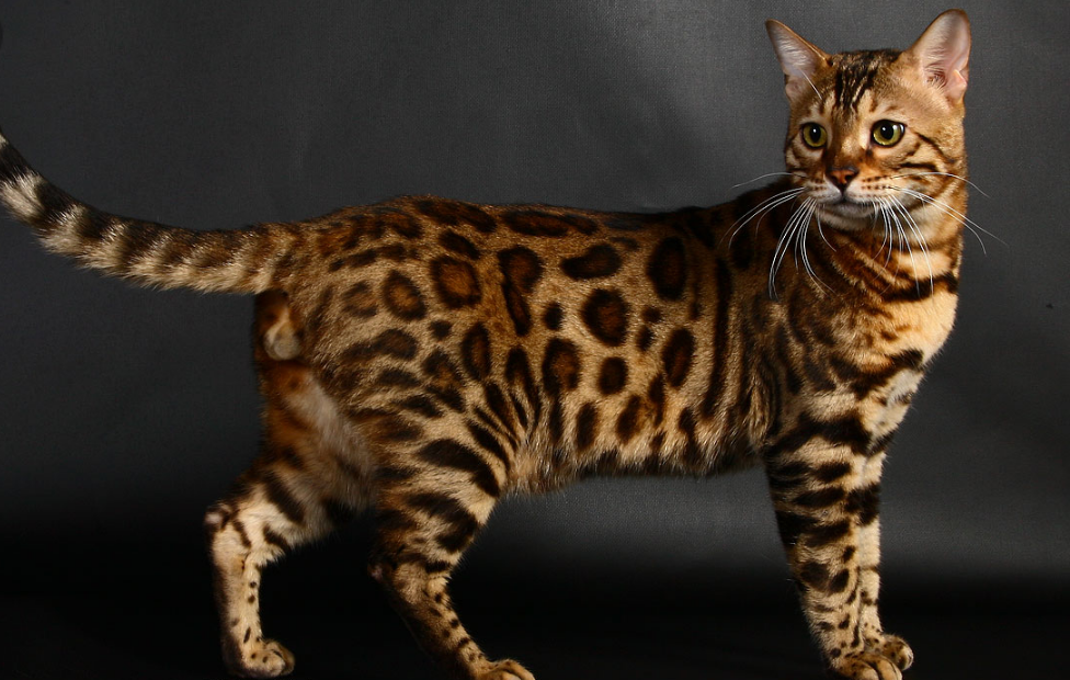 любого бенгальские коты характер особенности фото якобы тот